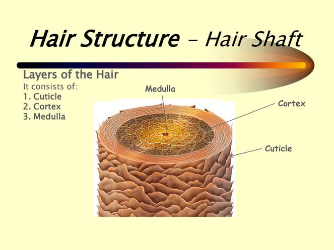 latest findings on the hair structure of human hair. Black Bedroom Furniture Sets. Home Design Ideas